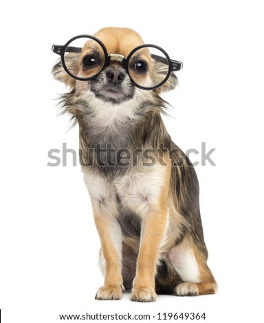 99f0cadd16c7 Chihuahua Wearing Round Glasses Sitting Looking Stock Photo (Edit ...