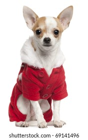 Chihuahua wearing Santa outfit, 2 and a half years old, sitting in front of white background