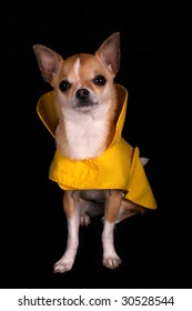 Chihuahua in a yellow raincoat