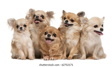 Chihuahuas, 14 years old, 11 years old, 5 years old, 3 years old, 1 year old, sitting in front of white background
