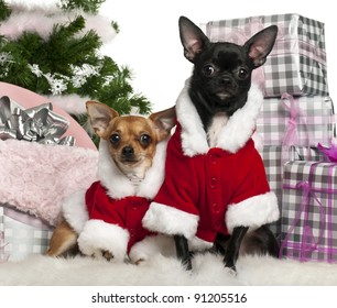 Chihuahuas, 18 months old and 1 year old, wearing Santa outfit with Christmas gifts in front of white background