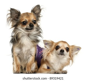 Chihuahuas, 3 years old, in front of white background