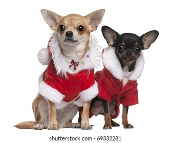 Chihuahuas dressed in Santa outfits for Christmas in front of white background