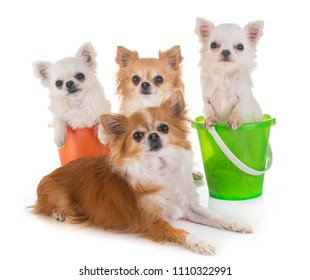 chihuahuas in holidays in front of white background
