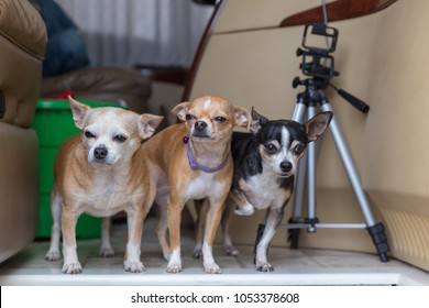 Chihuahuas of various ages standing together in the entryway of a motorhome. Tripod stand and storage tub nearby.
