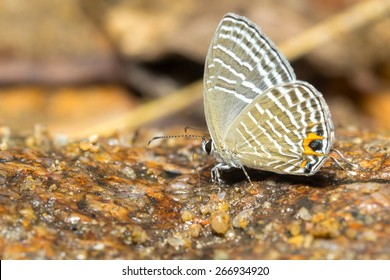 Chilades Pandava butterfly on sand (The Plain Cupid)