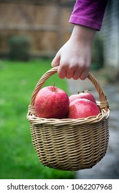 Child carrying a wicker basket full of pink apples up a garden path