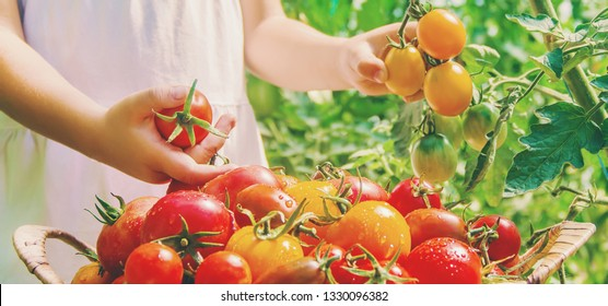 child collects a harvest of homemade tomatoes. selective focus. nature.