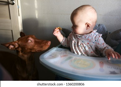 Child and dog, Pharaoh's dogs begging for food from baby in a children's chair, raising and training a dog, lifestyle