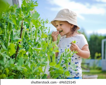 Child in the garden gathers eating peas
