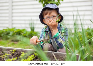Child gardening and eat green onionsin in the vegetable garden in the backyard