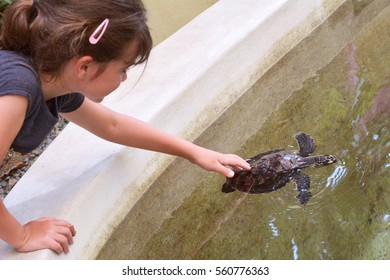 Child girl feeds a Hawksbill Sea Turtle in Fiji.It is critically endangered sea turtle belonging to the family Cheloniidae.