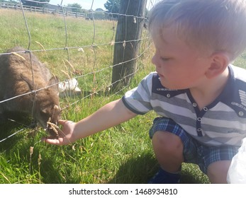 Child hand feeding a wild wallaby, in st Helens on Friday 3rd August in merseyside wallaby being fed seeds by a child