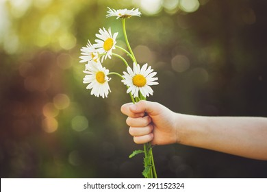 Child hand holding a flower daisy, toned photo. Focus for flowers. Background toning for instagram filter.