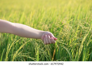 child hand with rice field