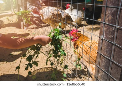 Child hands with fresh grass feeding domestic roosters, hens and turkeys in farm coop