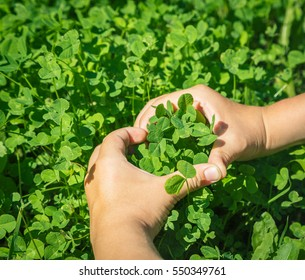 Child hands in heart shape with fresh green clover