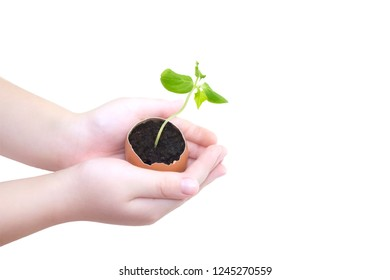 Child hands holding a sprout in egg with soil isolated on white background. Growing sprout is a beginning of new life. Small children hands holds a blossoming cucumber seedling. Seed germination