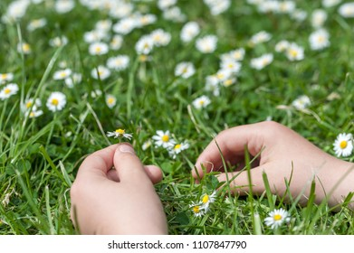Child hands plaing with white daisy flowers on a clover field. Copy space. Selective focus.
