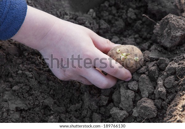Child hands planting potato tubers into the soil
