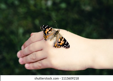 Child holding Painted Lady or Cosmopolitan Butterfly - Safe on Hand