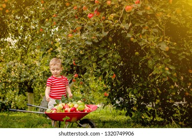 Child picking apples on a farm. Little boy playing in apple tree orchard. Kid pick fruit and put them in a wheelbarrow. Baby eating healthy fruits at fall harvest. Outdoor fun for children.