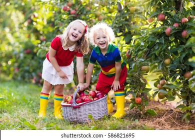 Child picking apples on a farm in autumn. Little girl and boy playing in apple tree orchard. Kids pick fruit in a basket. Toddler eating fruits at harvest. Outdoor fun for children. Healthy nutrition