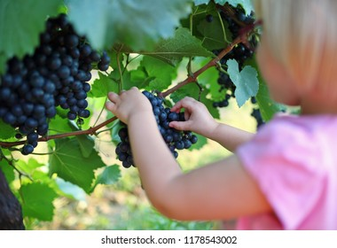 Child picking grape from branch in vineyard