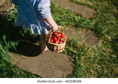 Child picking strawberries. Kids pick fresh fruit on organic strawberry farm. Children gardening and harvesting. Outdoor family summer fun in the country.