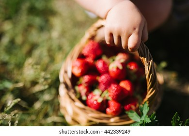 Child picking strawberries. Kids pick fresh fruit on organic strawberry farm. Children gardening and harvesting. Outdoor family summer fun in the country. close-up