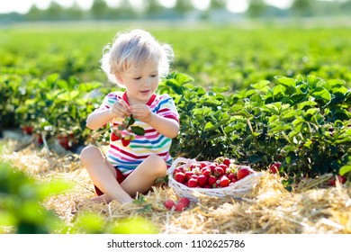 Child picking strawberry on fruit farm field on sunny summer day. Kids pick fresh ripe organic strawberry in white basket on pick your own berry plantation. Little boy eating strawberries.