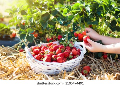 Child picking strawberry on fruit farm field on sunny summer day. Kids pick fresh ripe organic strawberry in white basket on pick your own berry plantation. Little girl eating strawberries.
