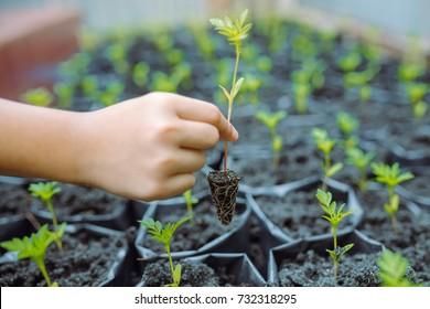 child are planting trees Marigold