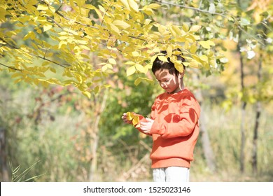 A child stands under the crown of an autumn tree and examines the leaves. Shadows from leaflets on his face and an orange sweater. The boy seemed to merge with nature. Beautiful yellow foliage.