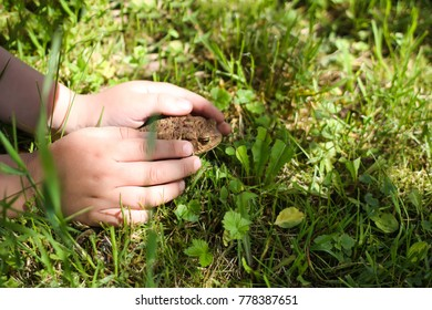 A child touching brown toad sitting on green summer grass in wild nature