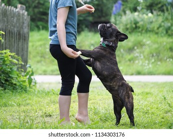 The child to train the dog. Children's legs and dog-French bulldog. Summer, grass