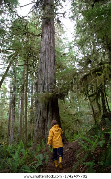 Child walking on a forest trail towards a huge cedar tree wearing a yellow rain jacket and boots.