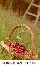 childhood in a grandma garden with a cherry basket
