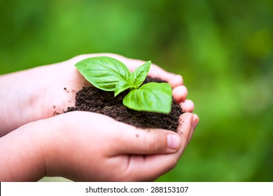 Children hands holding a green young plant (basilic plant)