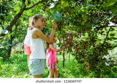 Children harvest cherry fruit at orchard, two little girls summer activity in garden