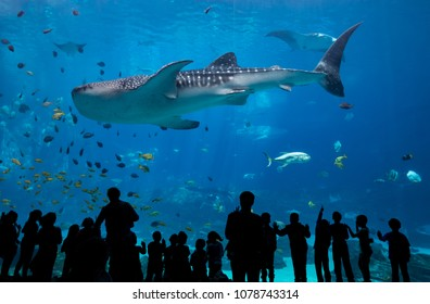 Children Look On As Whale Shark Passes in large aquarium tank