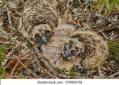 Children of an owl in a nest. Island on Jack London's lake. Summer. Kolyma