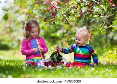 Children picking cherries in summer orchard.