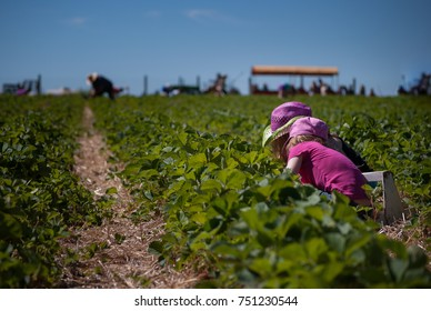 Children in pink clothes picking strawberries on the farm