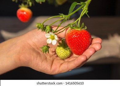 Children's hand is holding a strawberry branch with strawberries and a strawberry flower. The child likes to grow their own organic fresh fruits and berries. Happy childhood.