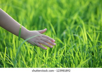 children's hand touching on paddy leaf.