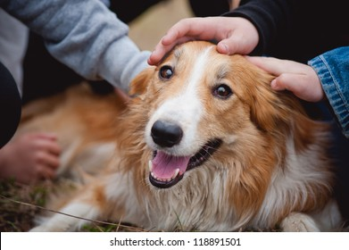 children's hands caress red border collie dog