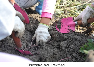 Children's sweet potato digging experience