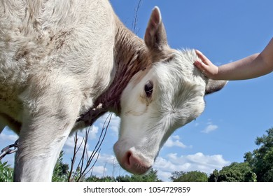 The child's hand caresses the calf. Close-up. Blue sky in the background