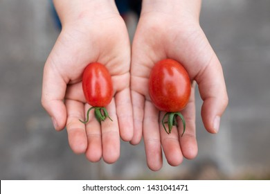 Child's hand holding a tomato